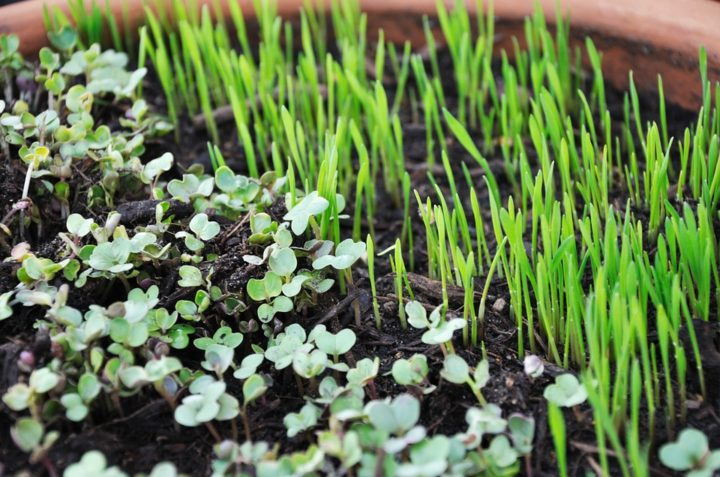 A Step by Step Guide to Growing Microgreens